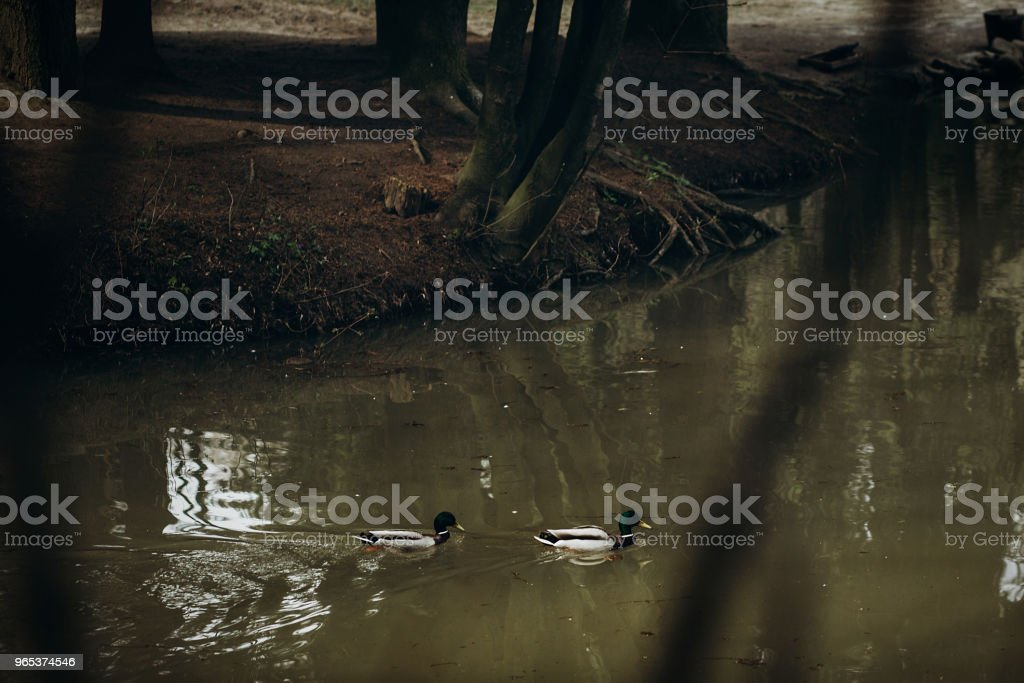 Cute mallards swimming in a lake in the forest, wild birds - ducks in a pond at british countryside - wildlife scene, nature concept royalty-free stock photo