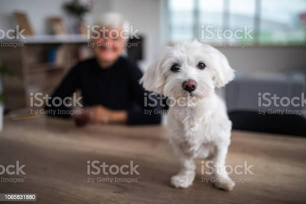 Cute maltese dog looking at camera picture id1065831880?b=1&k=6&m=1065831880&s=612x612&h=4 dv3 08s2ru6yqytk ywxsxz8nbybiws1 3vvbzec0=