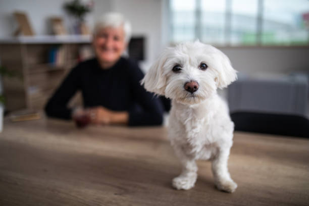 Cute maltese dog looking at camera picture id1065831880?b=1&k=6&m=1065831880&s=612x612&w=0&h=v0ob06s07r8mwgaliu9mynohsyougovu9f1dhpepfmi=