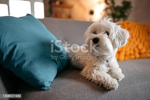 Cute Maltese dog relaxing on sofa at modern living room