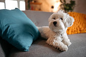 istock Cute Maltese dog relaxing on sofa at modern living room 1208322430