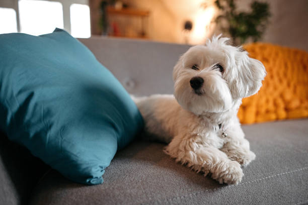 Cute Maltese dog relaxing on sofa at modern living room stock photo