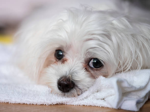 Cute Maltese puppy dog close up head-shot of the eye detail with typical tear staining around the eye. stock photo