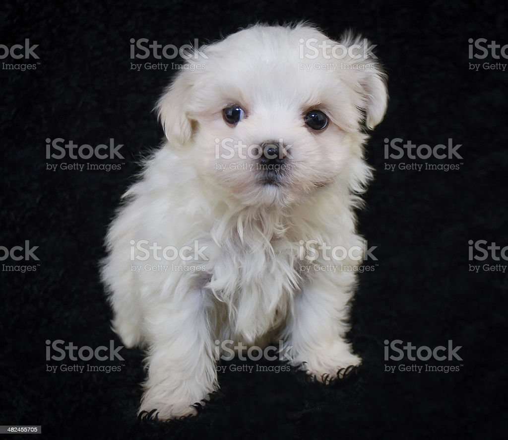 Cute Maltipoo Puppy Stock Photo Download Image Now Istock