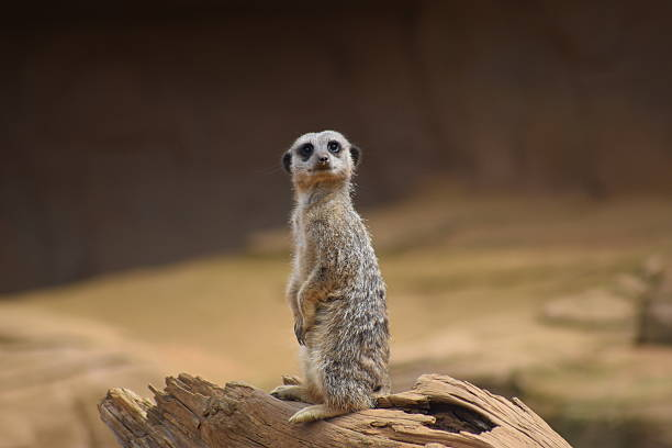 cute meerkat posing in upright position animal - meerkat stock photos and pictures