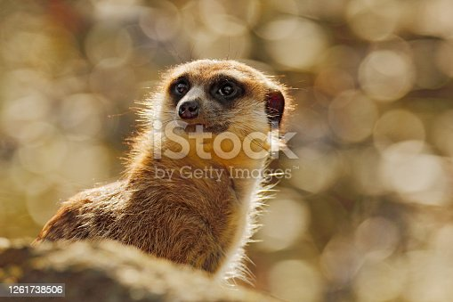 Cute Meerkat, Suricata suricatta, sitting on the tree trunk in white flower meadow, Namibia. Beautiful animal in the nature habitat. Wildlife scene from nature, funny image. Sunny back light in nature