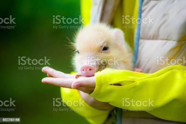 Cute mini piglet picture id932293188?b=1&k=6&m=932293188&s=612x612&h=e1txnfux wcjnn1fbfpduq4ntn0nbhwdvca9cd9e0z4=