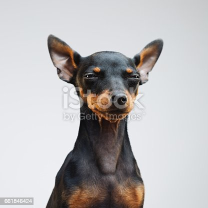 Portrait of cute miniature pinscher dog looking at camera. Square portrait of little dog against gray background. Studio photography from a DSLR camera. Sharp focus on eyes.