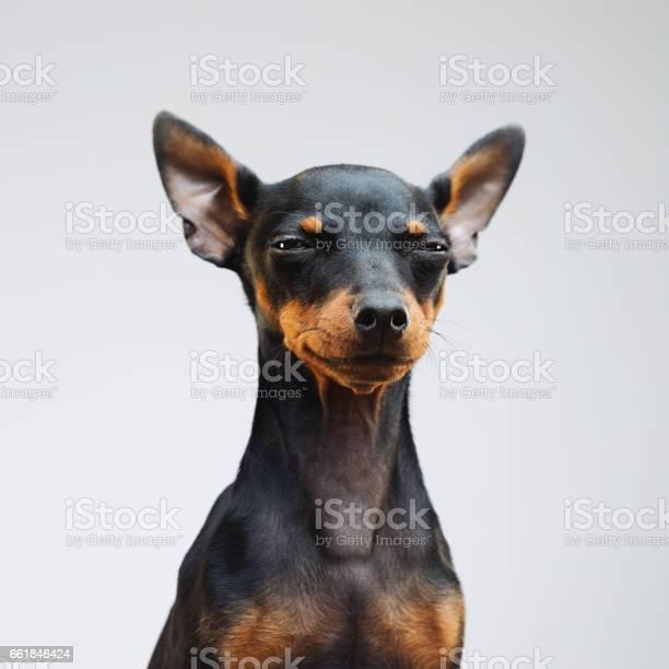 Cute miniature pinscher dog picture id661846424?b=1&k=6&m=661846424&s=612x612&h=kodvzy8 jcf1hye hmqf pzjkmlf0ddytkpeoy2dyny=