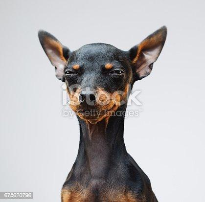 istock Cute miniature pinscher dog 675620796
