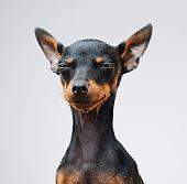 かわいいミニチュア ・ ピンシャー犬