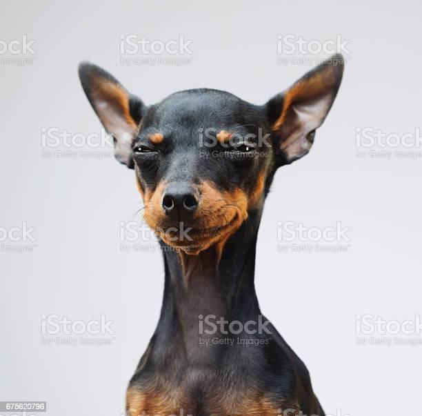 Cute miniature pinscher dog picture id675620796?b=1&k=6&m=675620796&s=612x612&h= ggfjcu5cyhqjbpprpsqfvln9n6ohfsmktdnrwlyqbu=