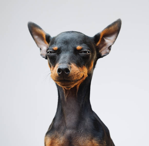 Cute miniature pinscher dog stock photo