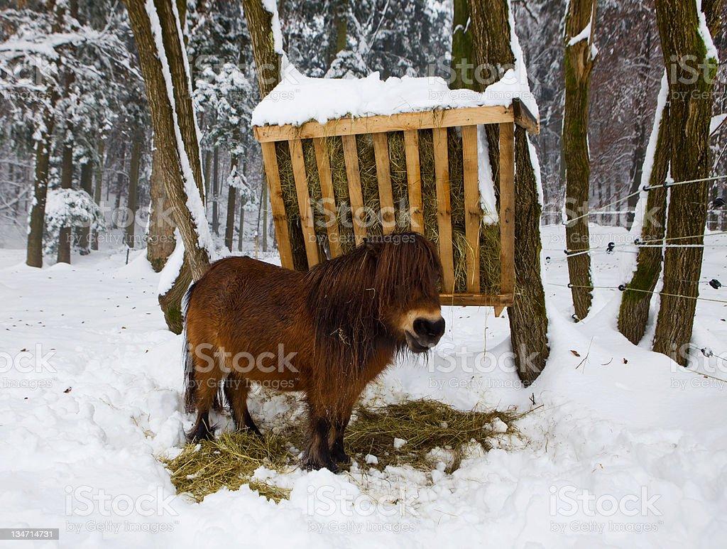 Cute miniature Shetland pony royalty-free stock photo