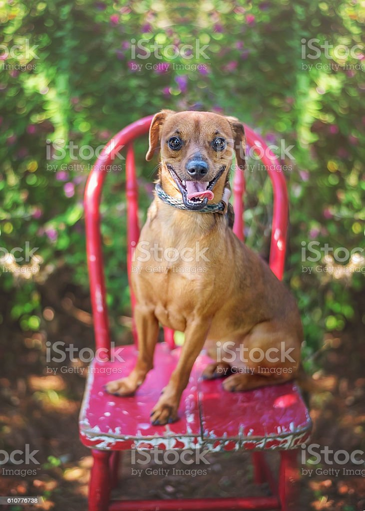 Cute Mixed Breed Dog on Red Chair stock photo