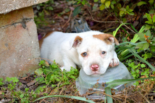 Cute mixed breed pit bull puppy – Foto