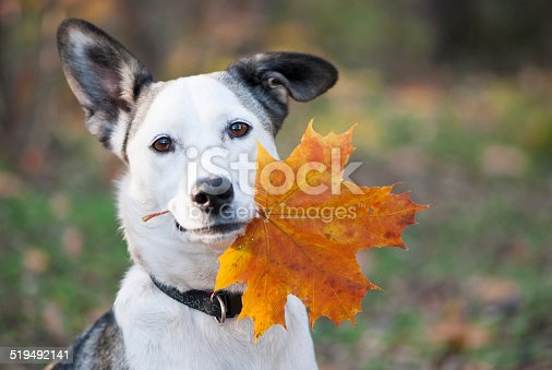 Portrait of cute mixed-breed dog holding autumn yellow leaf  in her mouth