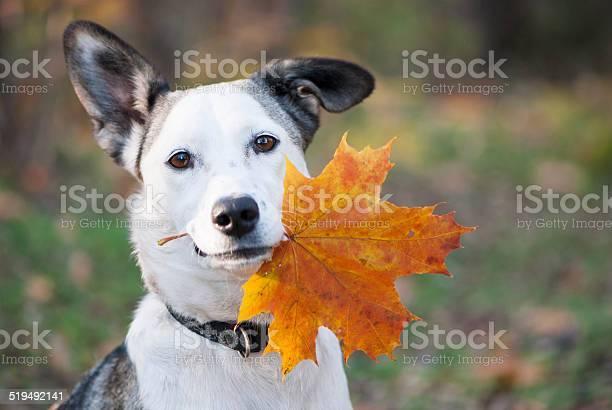 Cute mixedbreed dog holding autumn yellow leaf picture id519492141?b=1&k=6&m=519492141&s=612x612&h=dlopmym8cihagrcfggvruzhxpejutq5nnxp8m1vugay=