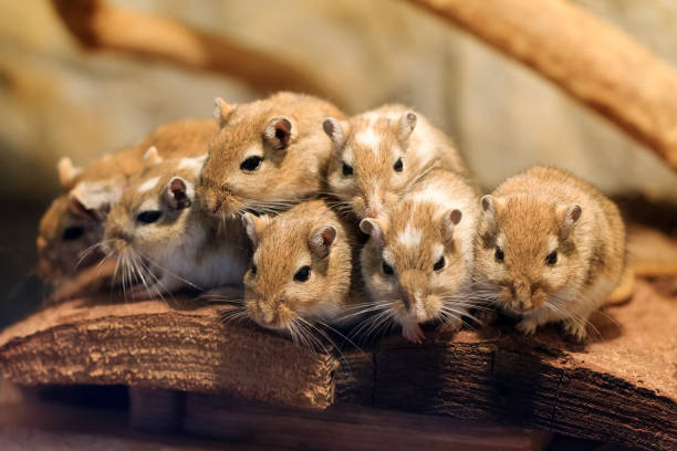 Cute Mongolian gerbil family stock photo