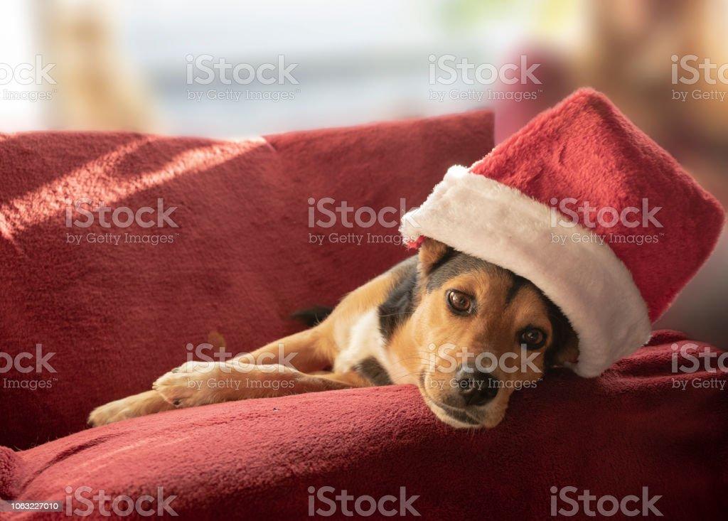 Netter Mischling Hund mit Weihnachtsmütze. – Foto