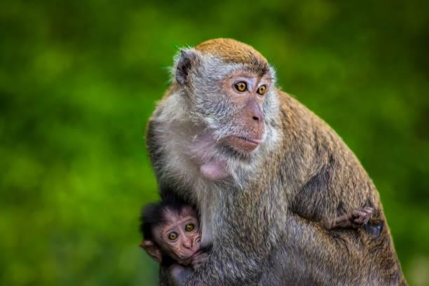 niedliche affe baby in taman negara dschungel von malaysia - dokumentation stock-fotos und bilder