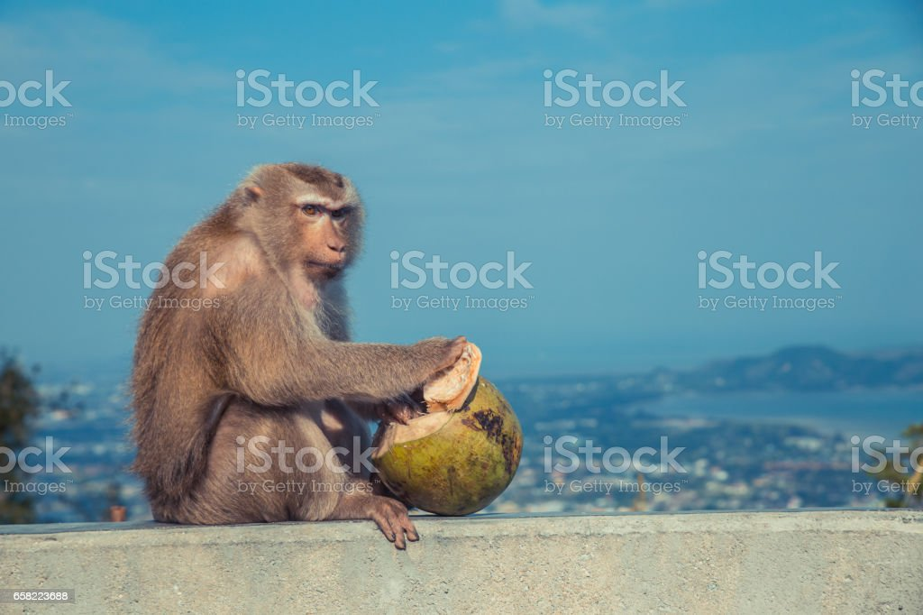 Cute monkey eating coconut. stock photo