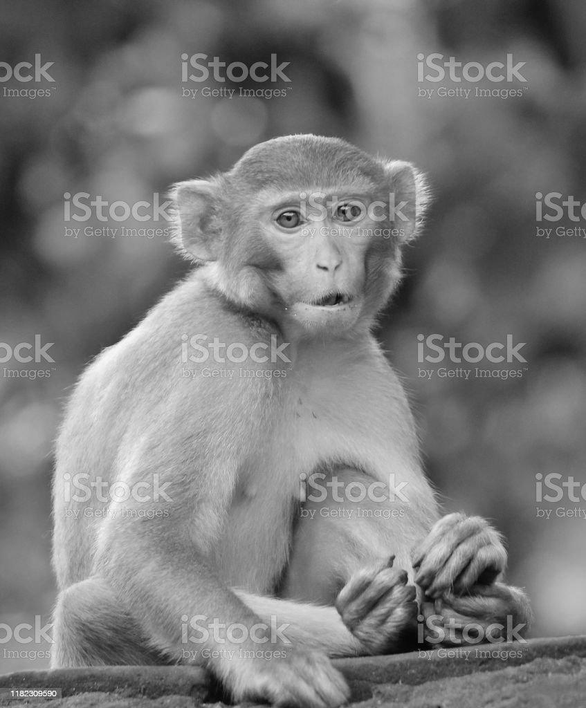 かわいい猿の顔かわいい動物の壁紙黒と白 いたずらのストックフォトや画像を多数ご用意 Istock
