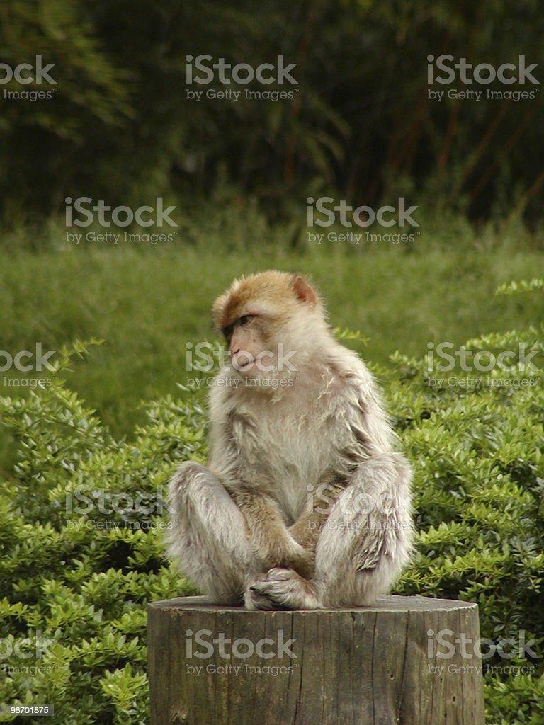 Cute Monkey royalty-free stock photo
