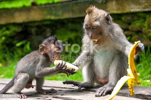 A funny baby macaque steals a banana from an adult monkey.