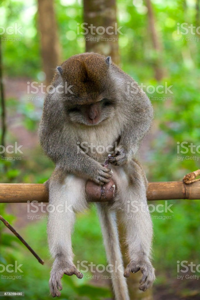 Cute monkeys lives in Ubud Monkey Forest, Bali, Indonesia. stock photo