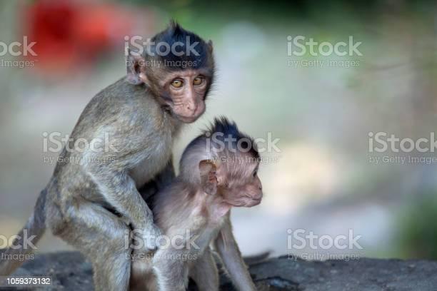Cute monkeys picture id1059373132?b=1&k=6&m=1059373132&s=612x612&h=8onnldzcr4zmbx4oazxkjgbtnvkqx7tdvvywwb6bwko=