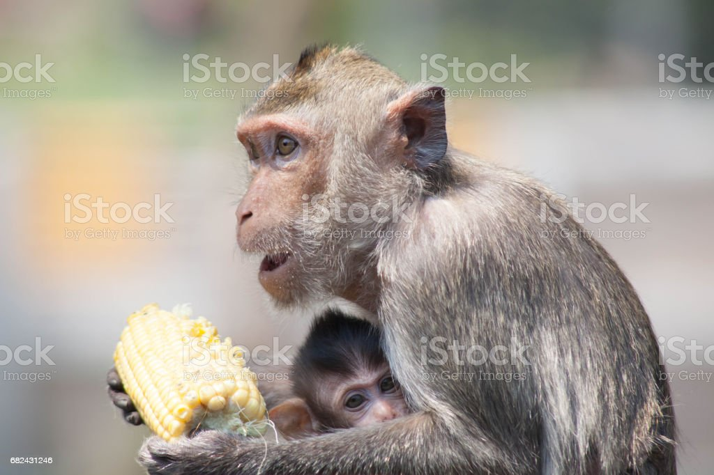 Cute monkeys royalty-free stock photo