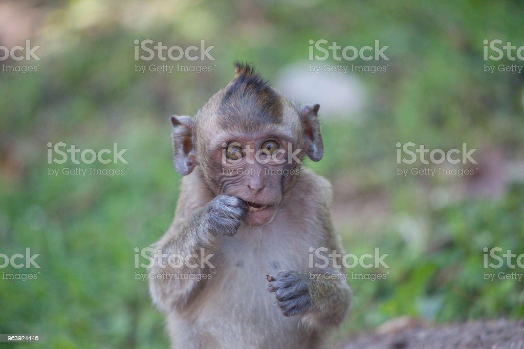 Cute monkeys - Royalty-free Animal Stock Photo
