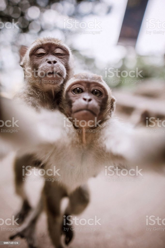 Cute Monkeys taking selfie royalty-free stock photo