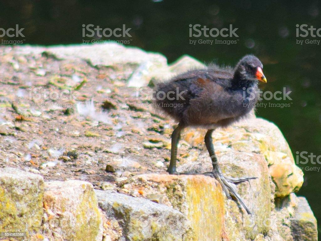 Graziosa Gallina Moor Pulcino Di Uccello In Piedi Anatroccolo