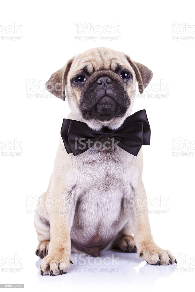 cute mops puppy dog with neck bow royalty-free stock photo