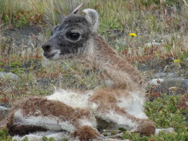 칠레, 파타고니아의 토레스 델 파이네 국립 공원에서 귀여운 새로 태어난 과나코 아기 스톡 사진