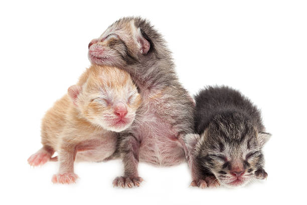 Cute new born kittens Cute new born kittens on white background newborn animal stock pictures, royalty-free photos & images