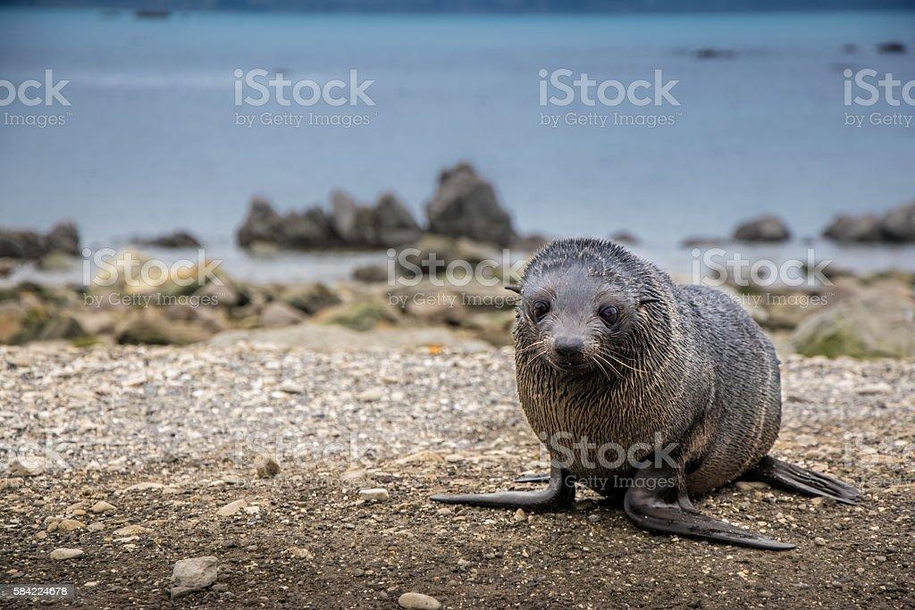Cute New Zealand fur seal pup stock photo