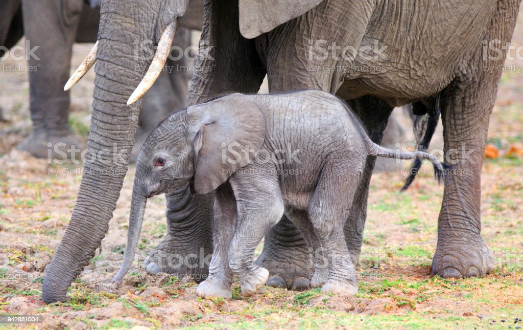 Newborn Elephants