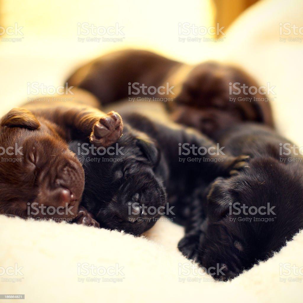 Cute Newborn Labrador Puppies Sleeping Stock Photo Download Image Now Istock