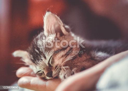 One small, cute newborn kitten sits in a Woman's hand.  Abandoned by the owners and left to die, she was rescued by this kind woman.  The kitten is fluffy and sleeps safe and sound.  Image taken in Ko Lanta, Krabi, Thailand.