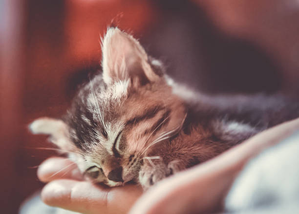 Cute newborn orphaned kitten sleeping in Womans hand stock photo