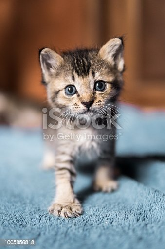 One small, cute newborn kitten takes his first steps whilst looking at the camera.  Abandoned by the owners and left to die, he was rescued.  Animal rescue and pet adoption are highly topical subjects.  Image taken in Ko Lanta, Krabi, Thailand.