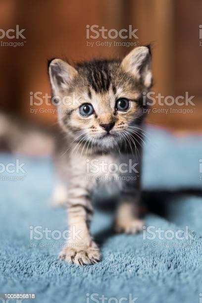 Cute newborn orphaned kitten takes first steps picture id1005856818?b=1&k=6&m=1005856818&s=612x612&h=fwlo05ii7dbzybgrrsf f6pl2sbtn bbexkwhphy8pk=