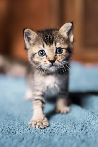 Cute newborn orphaned kitten takes first steps picture id1005856818?b=1&k=6&m=1005856818&s=612x612&w=0&h=9heeerixvv8cfw2wbqmnufioe4wt5trtkgtys3j5hrm=