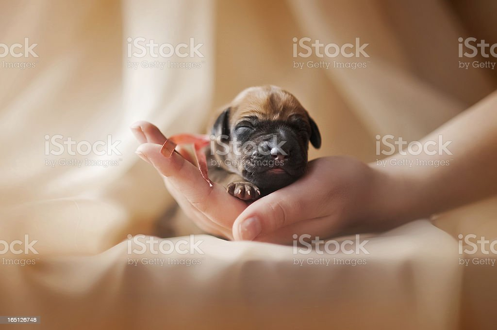 cute newborn puppy in the hands royalty-free stock photo
