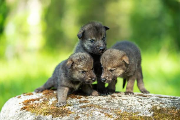 Cute newborn wolf cubs picture id1155645993?b=1&k=6&m=1155645993&s=612x612&w=0&h=3gwk8o69ha921dndtfockqrr7joaphx2jghah2 qquw=