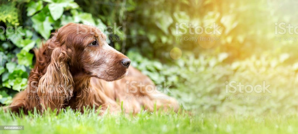 Cute old dog banner stock photo