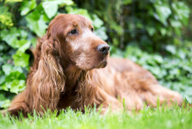 Cute old Irish Setter dog Cute old Irish Setter lying in the grass irish setter stock pictures, royalty-free photos & images